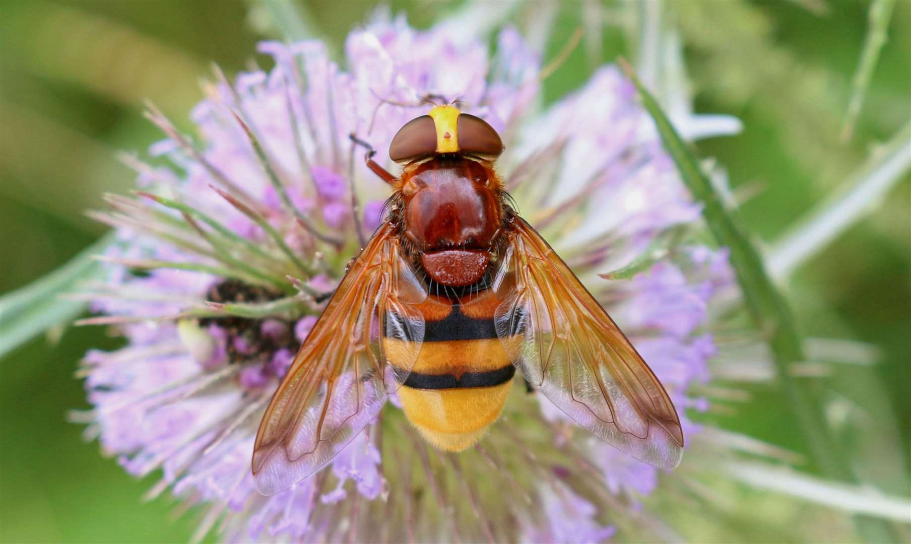 Hornet hoverfly Picture: Jon Heath (40486028)