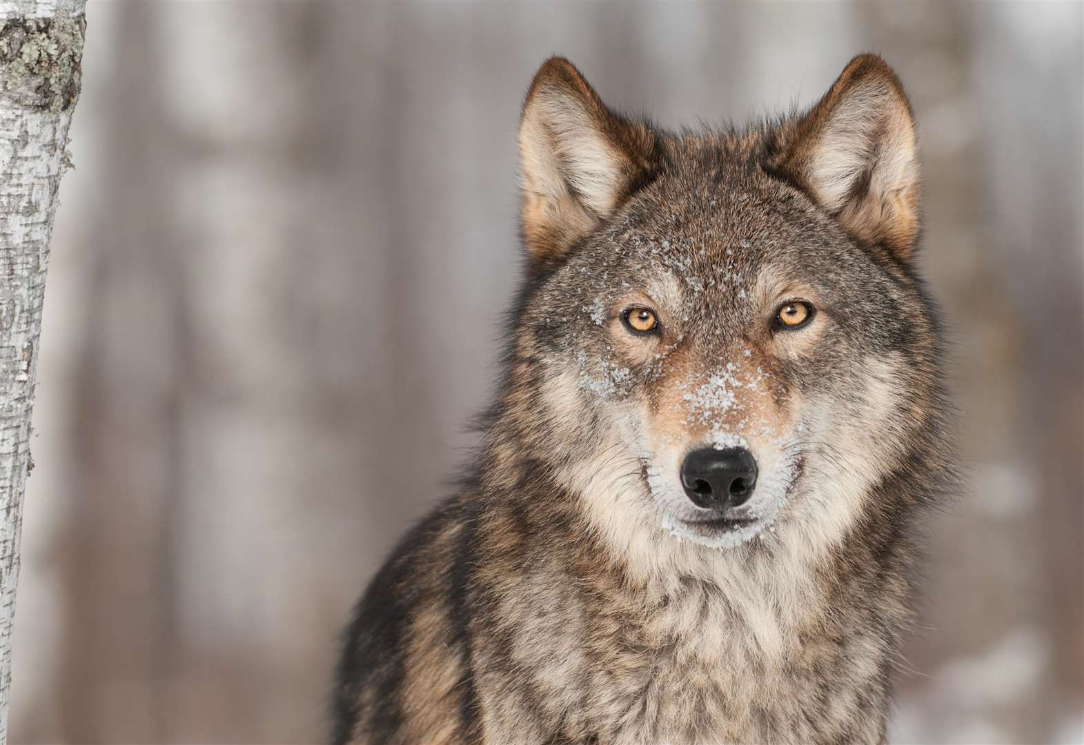 Rewilding: Is it time for the wolf and the lynx?