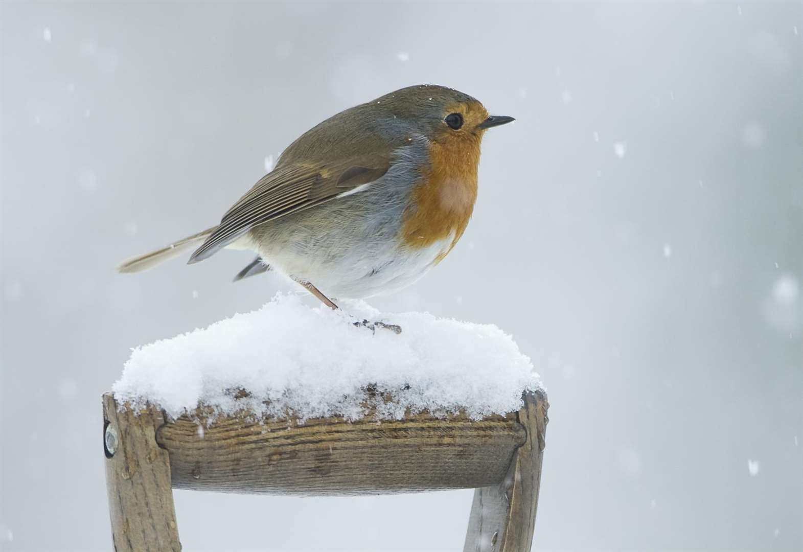 Over-indulging? Spare a thought for the famished birds of Christmas