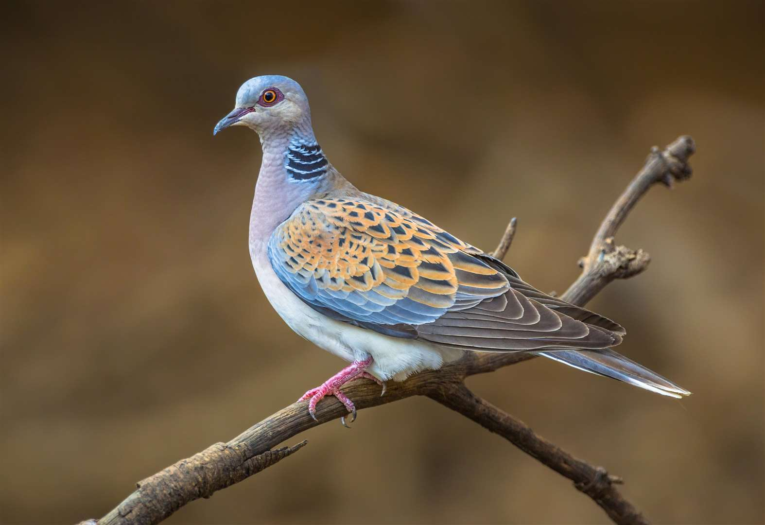 Sanger Institute completes sequencing of turtle dove and robin genomes