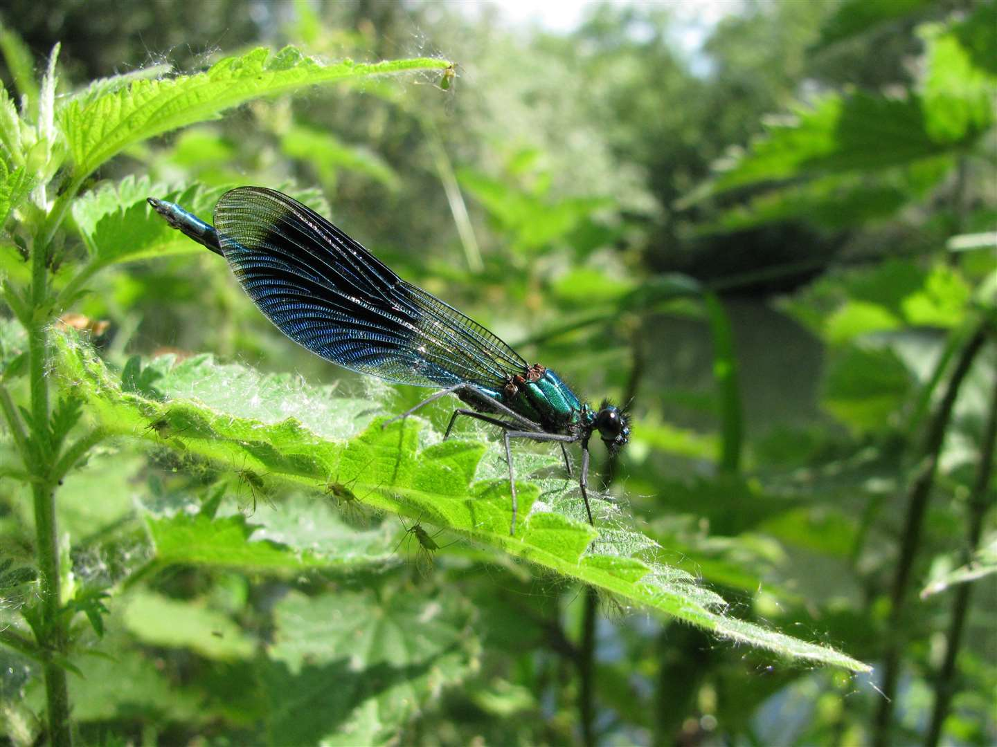The damselfly is busy at this time of year but has a lifespan of just a couple of weeks