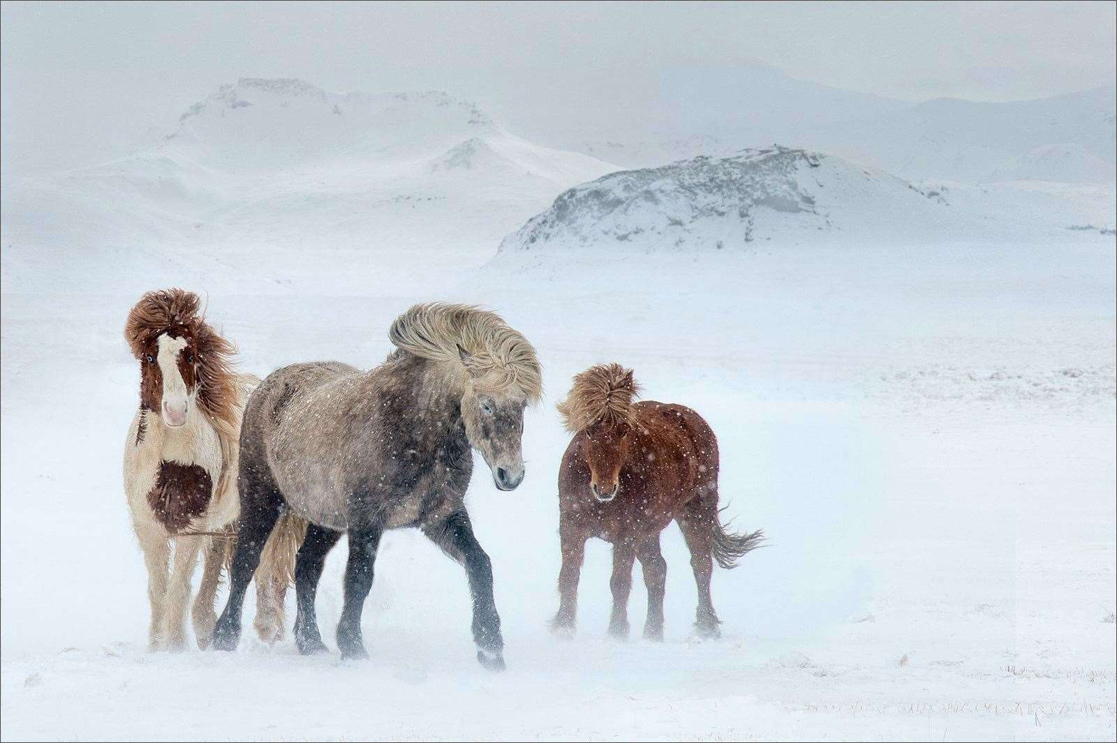 Icelandic Ponies by Sarah Kelman, Cambridge Camera Club (27657746)