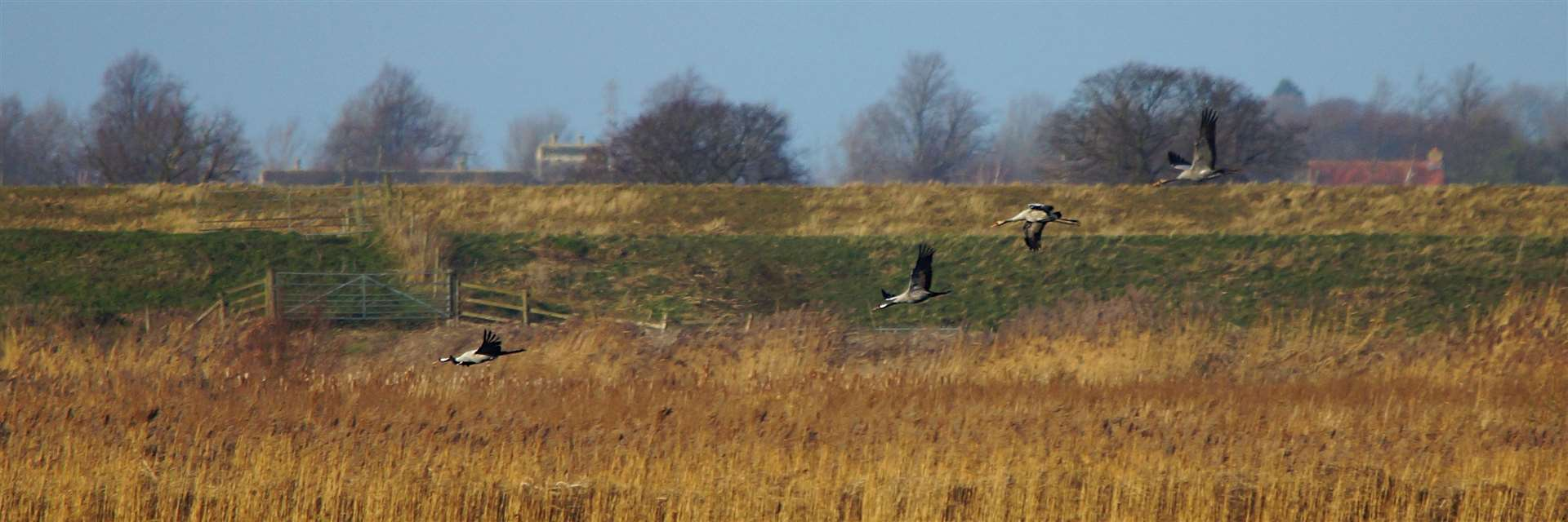 Cranes coming into land at RSPB Nene Washes. Picture: Paul Brackley (42351280)