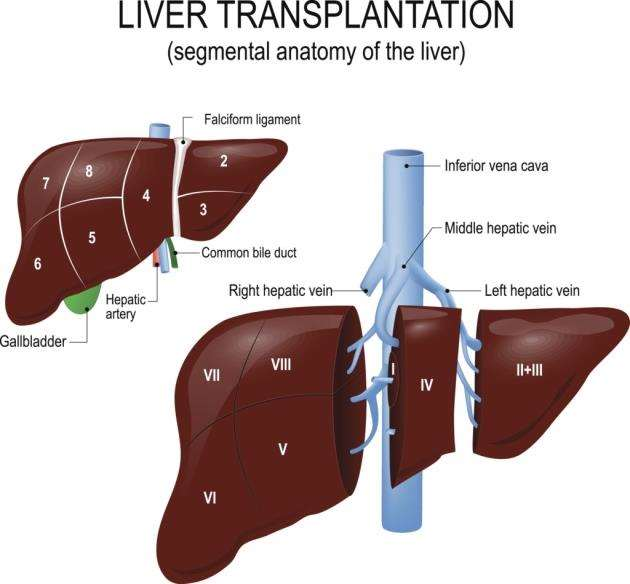 Anatomy of the liver and blood supply
