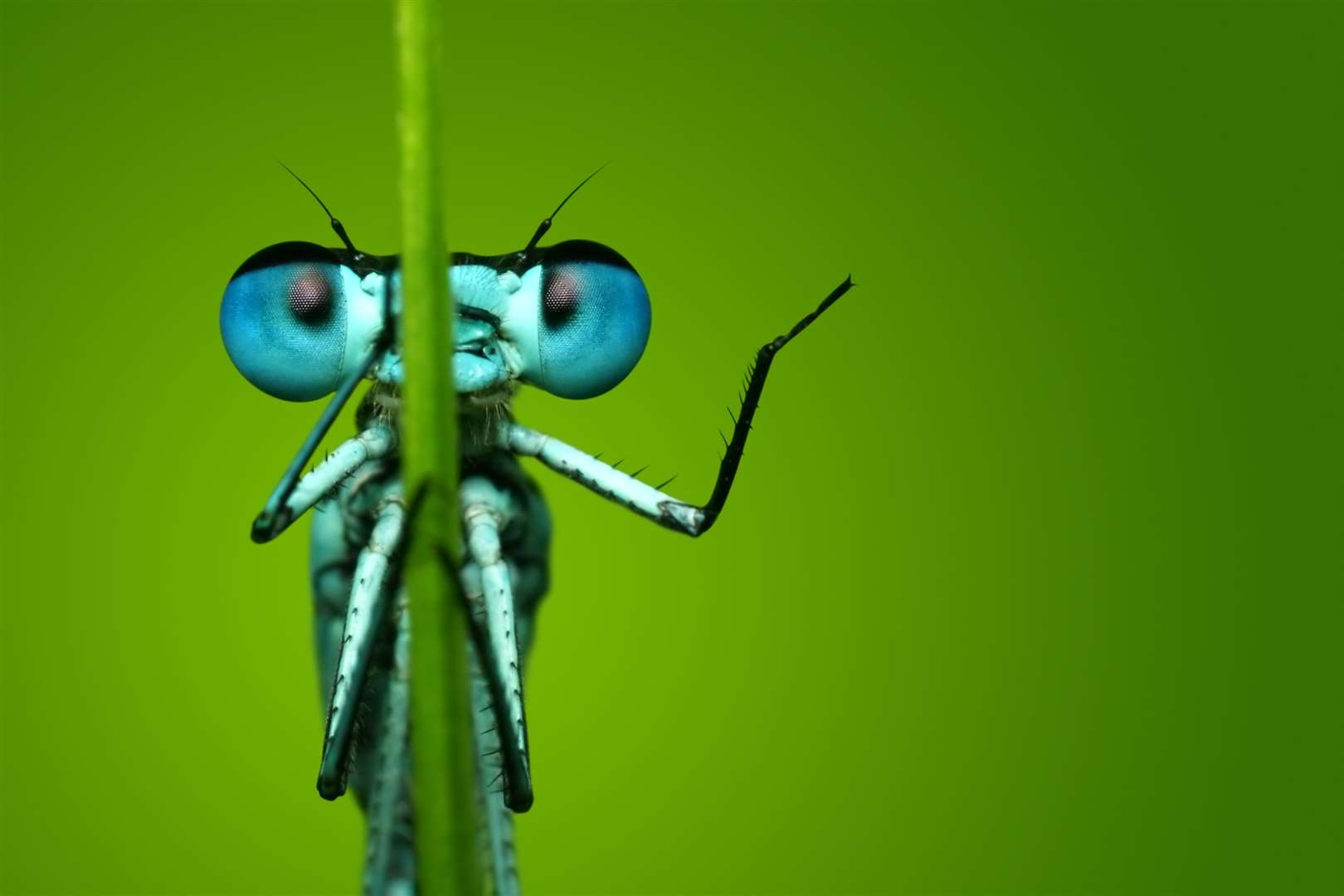 A huge proportion of a damselfly's brain is taken up with processing the images from tens of thousands of lenses in each eye