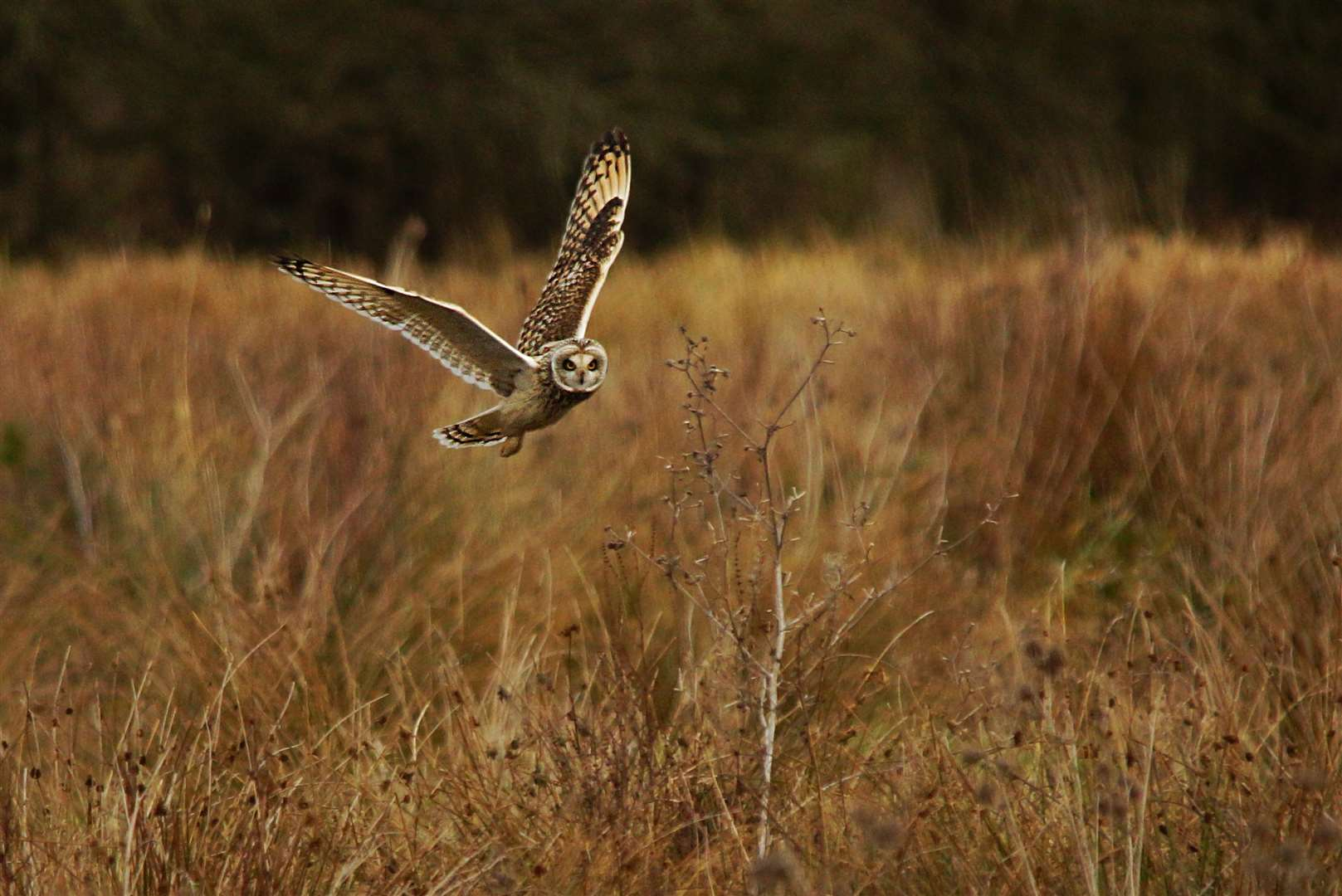 A short-eared owl in flight. Picture: Paul Brackley (42430732)