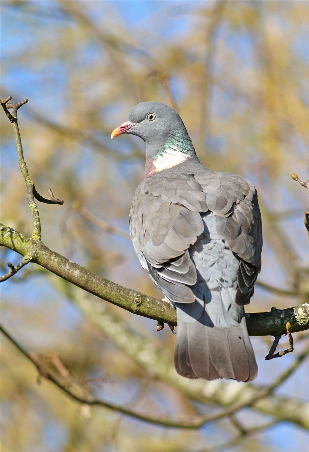 A woodpigeon. Picture: Jonathan Heath
