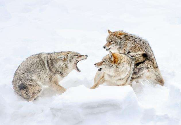 Coyote fight. Picture: Sarah Kelman