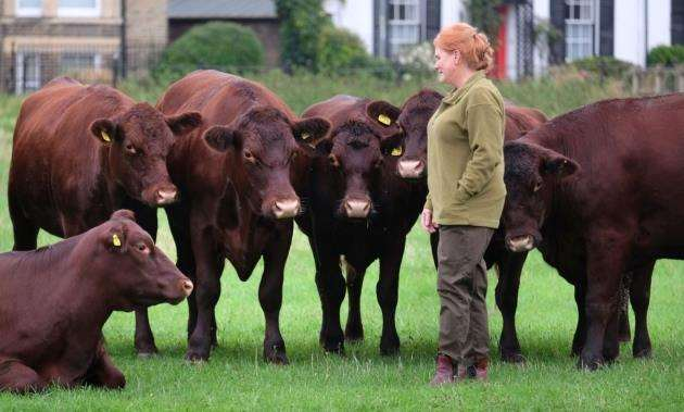 The Red Poll cattle are expectec to be on Midsummer Common until October. Picture: Richard Marsham