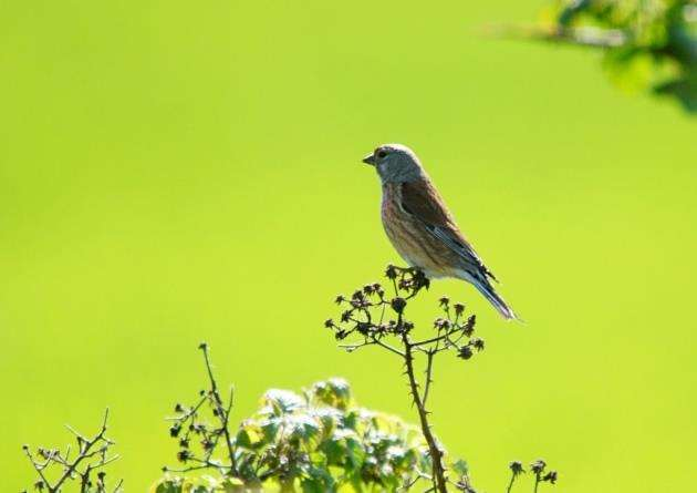 Linnet at RSPBs Hope Farm in Knapwell. Picture: Paul Brackley