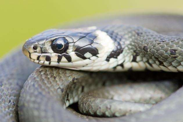 Close up of a beautiful grass snake (natrix natrix) with focus on the eye. RAW-file developed with Adobe Lightroom.