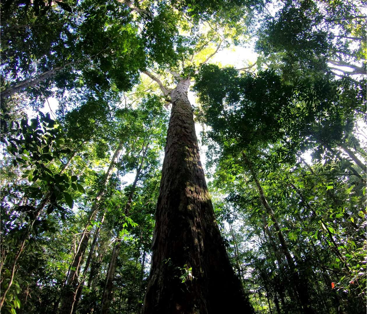 The tallest tree in the Amazon. Picture: Toby Jackson