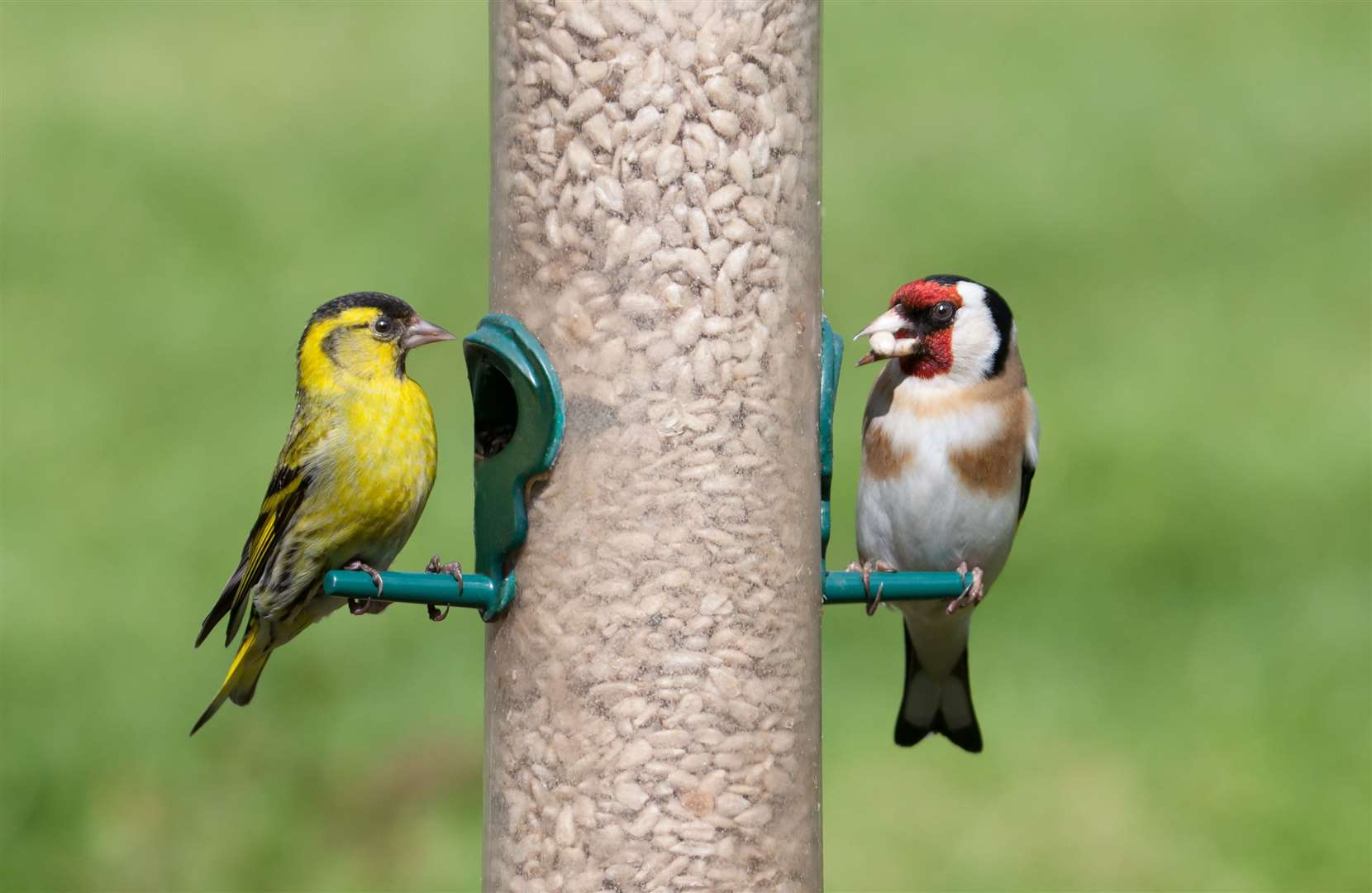 A siskin and goldfinch on a feeder: encourage birds into your garden by regularly putting out food
