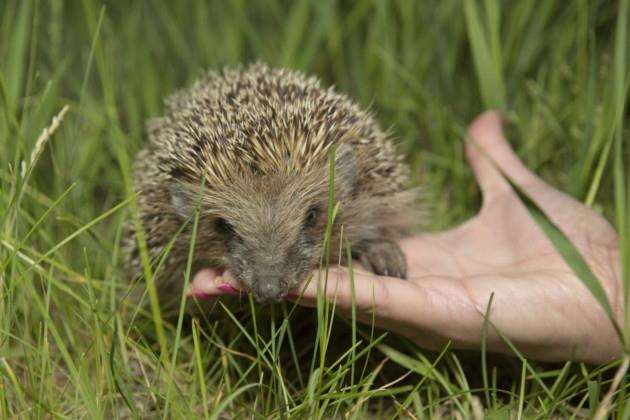 Cambridge researcher gets a dream job working with hedgehogs