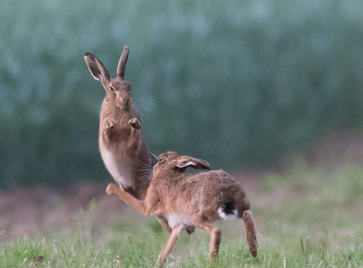 Brown hares boxing. Picture: Donald Sutherland (7341675)