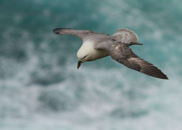 Studies of fulmars found an average of 33 plastic pellets in their stomachs