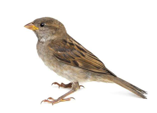 Female House sparrow against white background