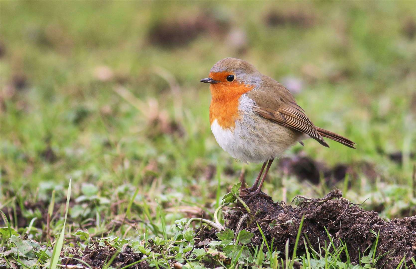 A robin. Picture: Jonathan Heath