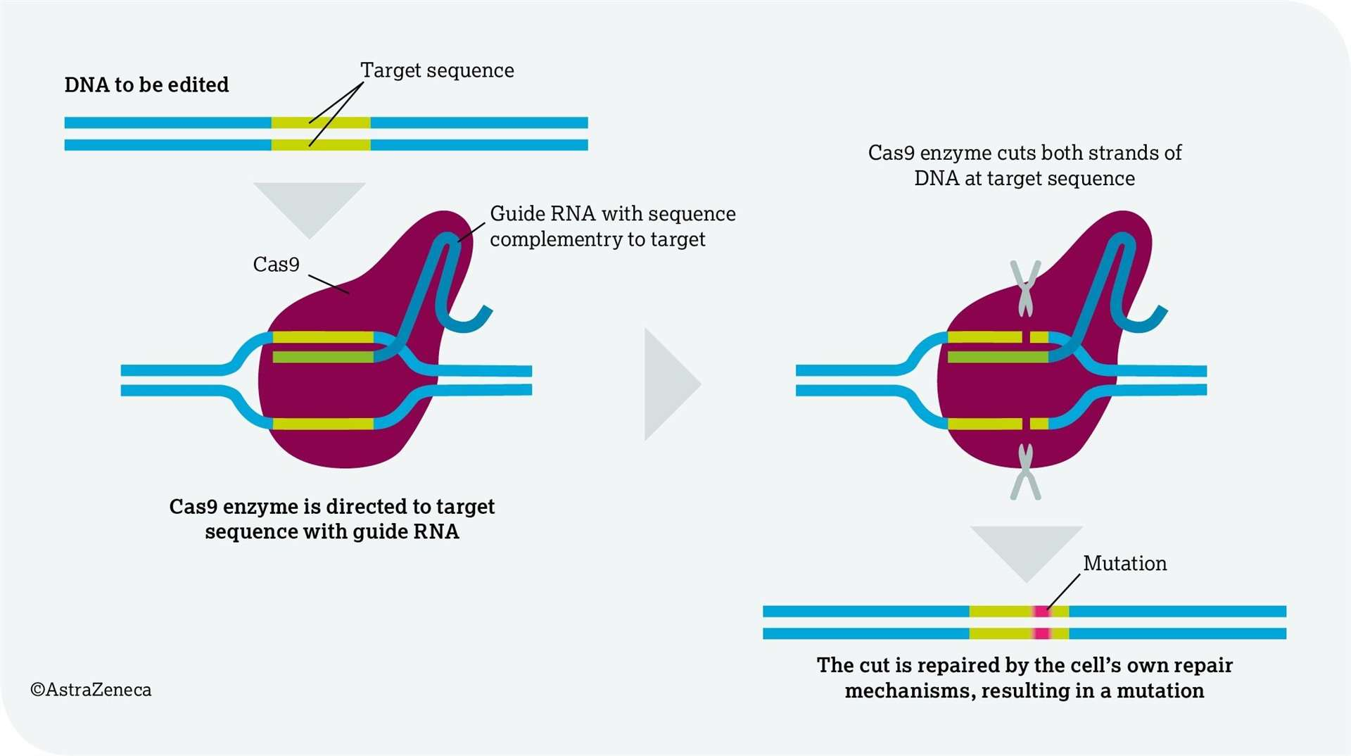How CRISPR technology works. Graphic: AstraZeneca (6165456)