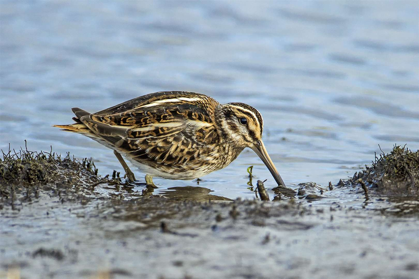 Jack Snipe (Lymnocryptes minimus), Lower Moors, St Mary's, Isles of Scilly (7168155)