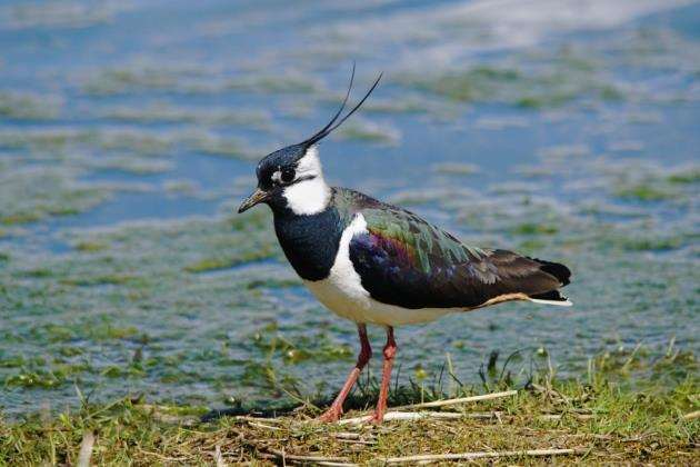 A lapwing. Picture: Paul Brackley