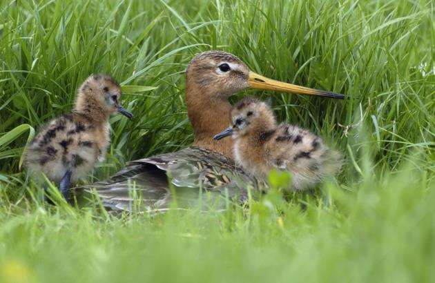 A black-tailed godwit (Limosa limosa) mother with chicks in the nest. Picture: Will Meinderts