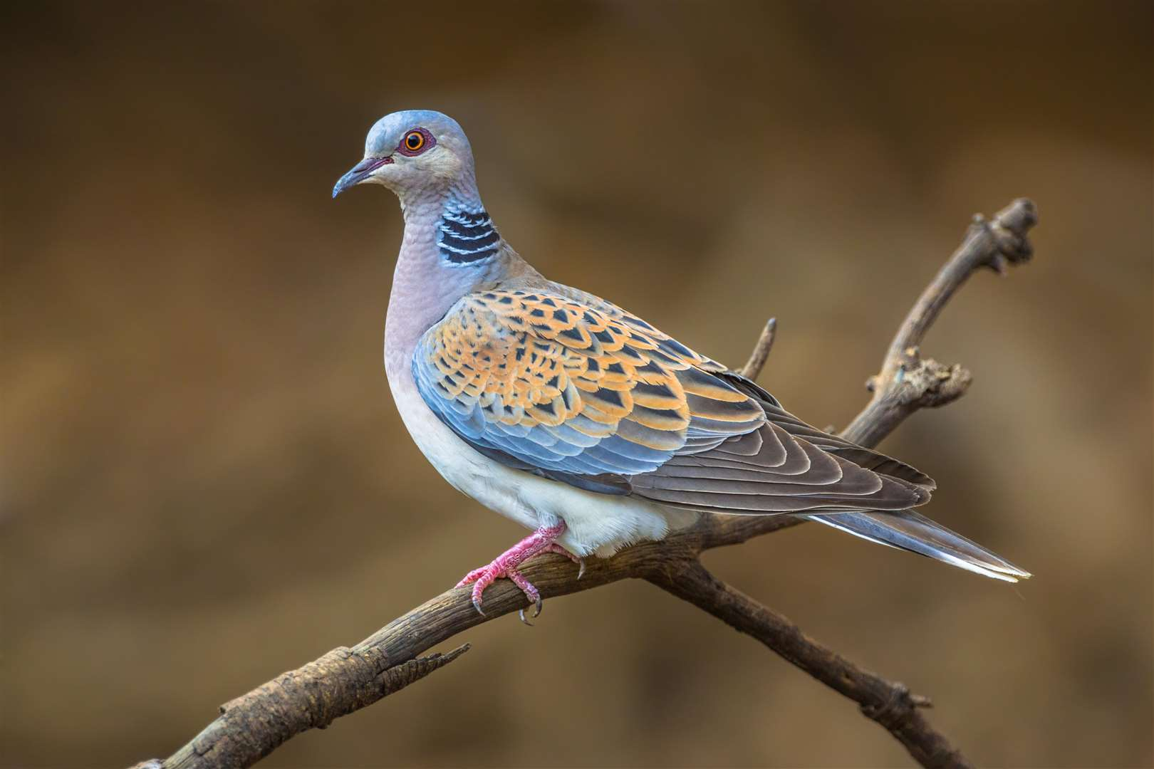 Turtle dove (Streptopelia turtur) perched on a branch (6249503)