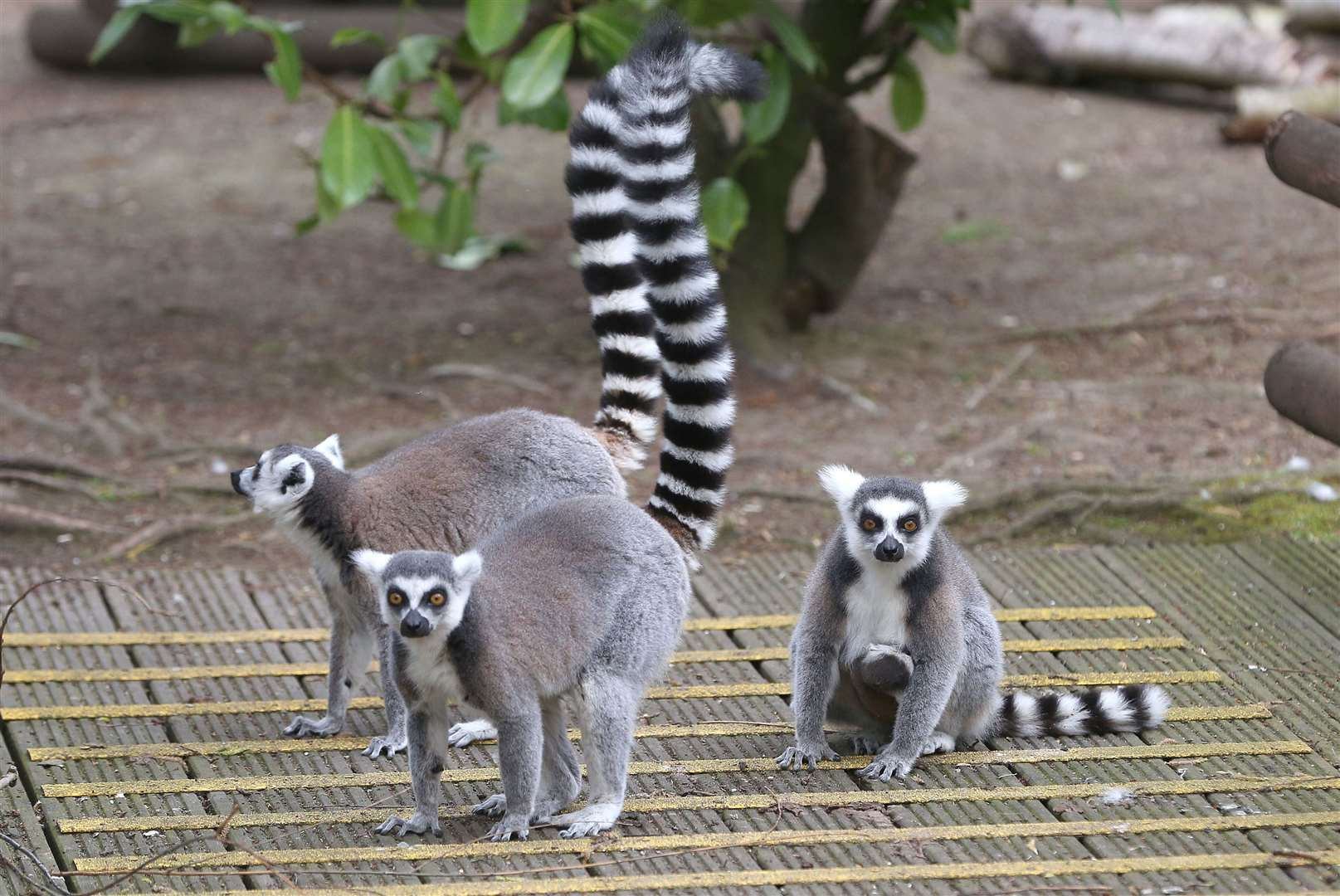 Peachy the Ring Tailed Lemur with her 1 week old baby at Shepreth Wildlife Park..Pic - Richard Marsham. (8402417)