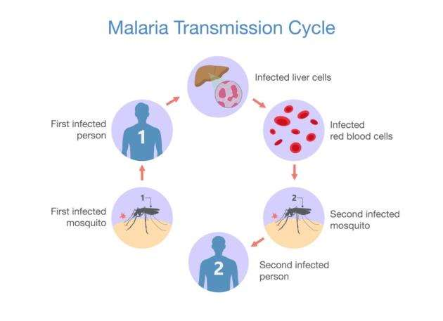 The malaria transmission cycle