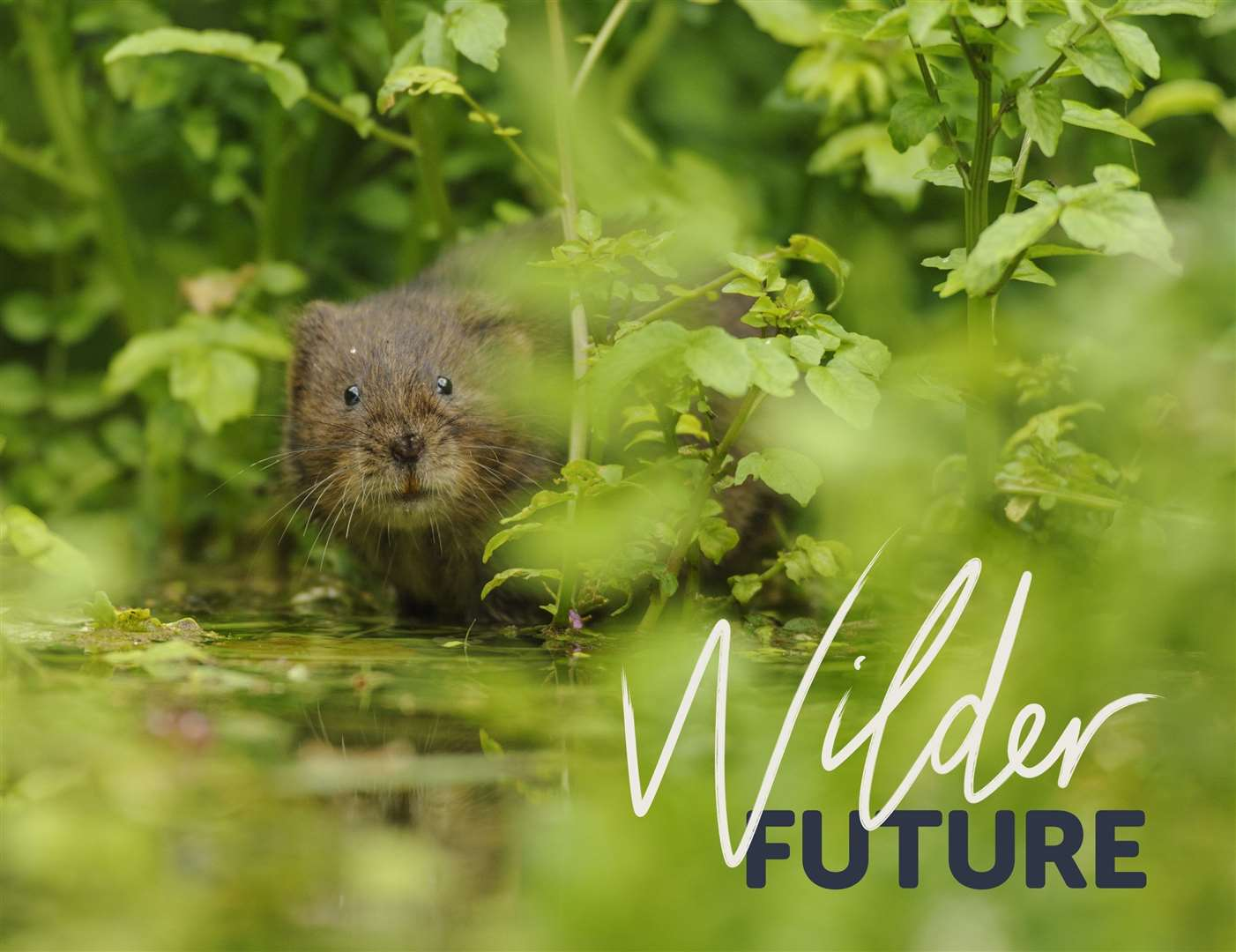 A water vole. Image: Wildlife Trusts (8017753)