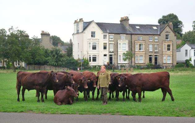 The Red Poll are a cross between between Norfolk Red beef cattle and Suffolk Dun dairy cattle. Picture: Richard Marsham
