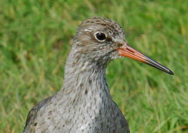 Breeding redshank. Picture: Kevin Simmonds
