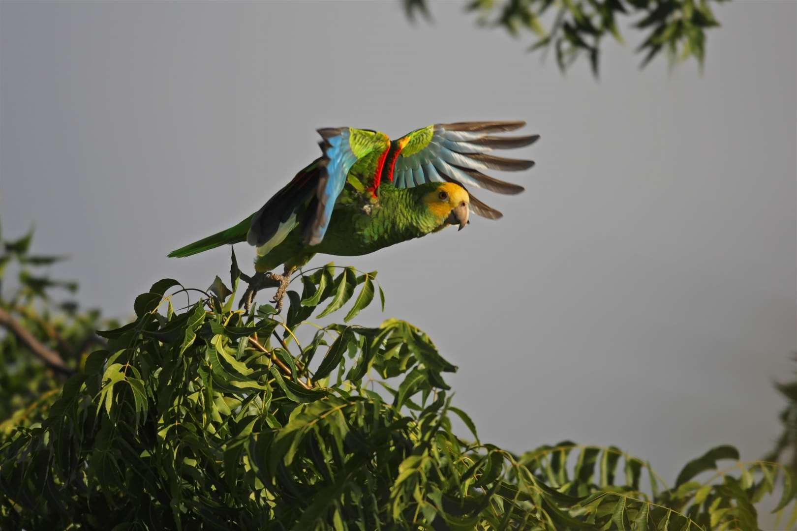 Yellow-shouldered parrot (Amazona barbadensis) taking flight