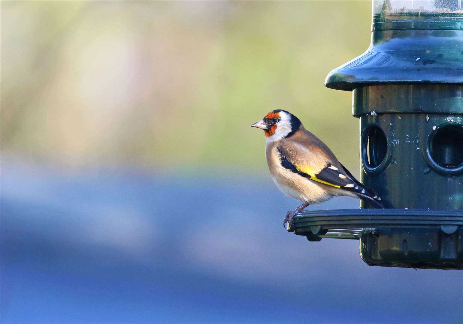 A goldfinch. Picture: Jonathan Heath