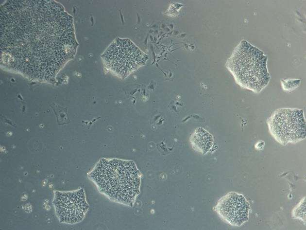 Induced pluripotent stem cells. Image: Stemnovate