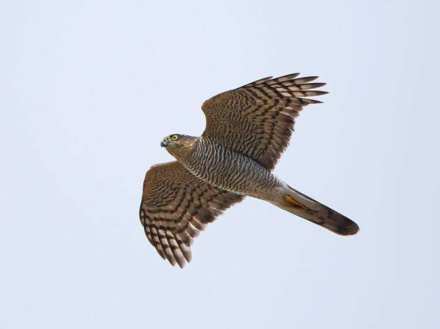 Eurasian sparrowhawk with blue skies in the background