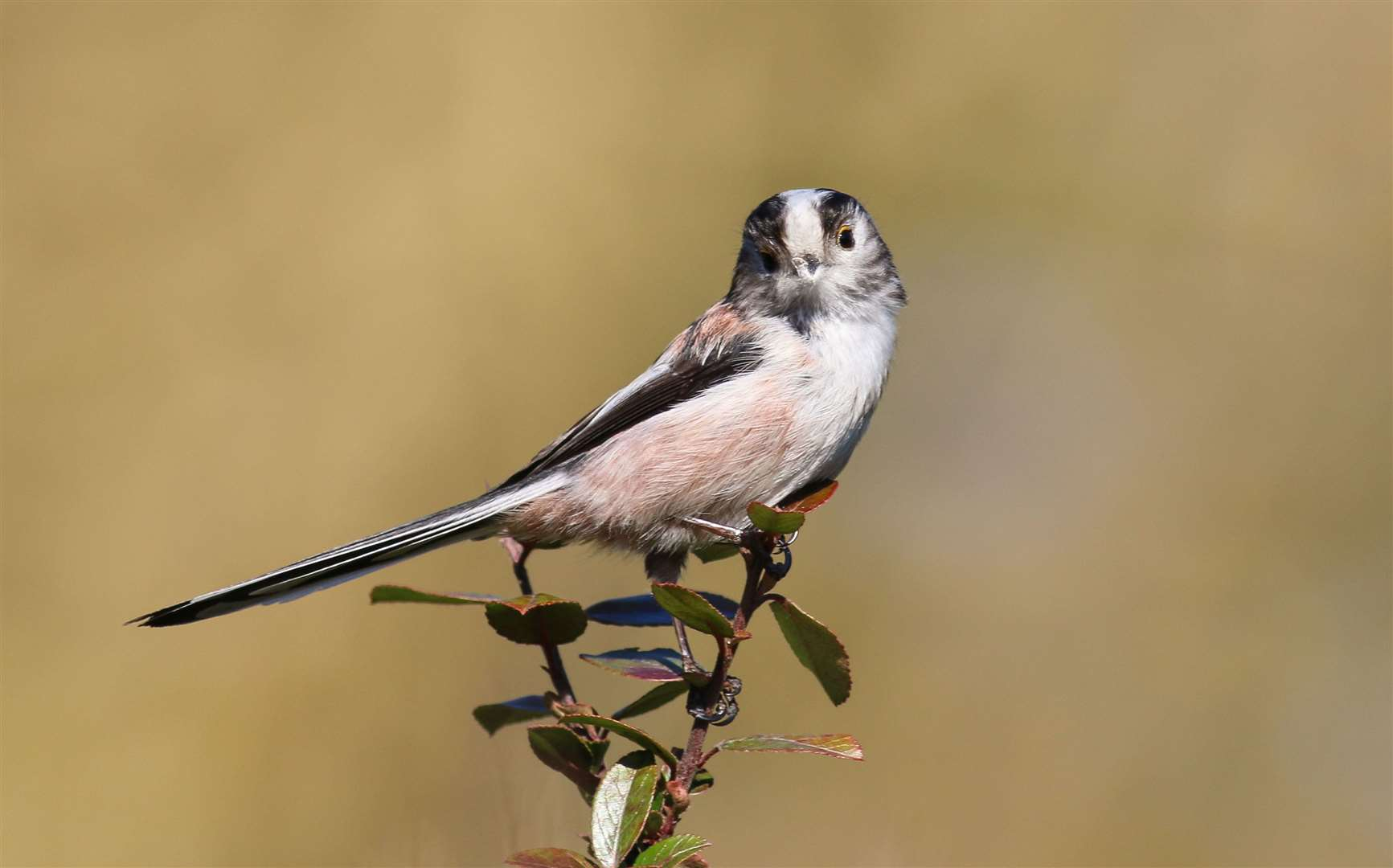 A long-tailed tit. Picture: Jonathan Heath