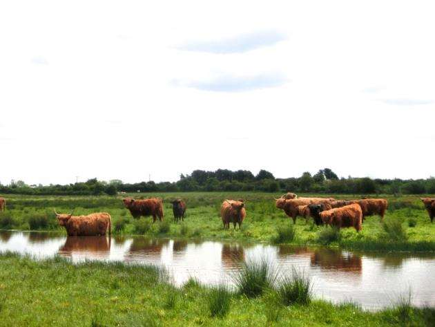 Highland cattle at Kingfishers Bridge
