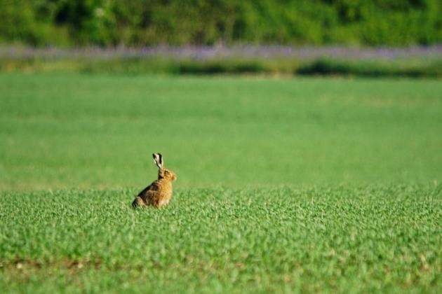 A brown hare at RSPBs Hope Farm in Knapwell. Picture: Paul Brackley