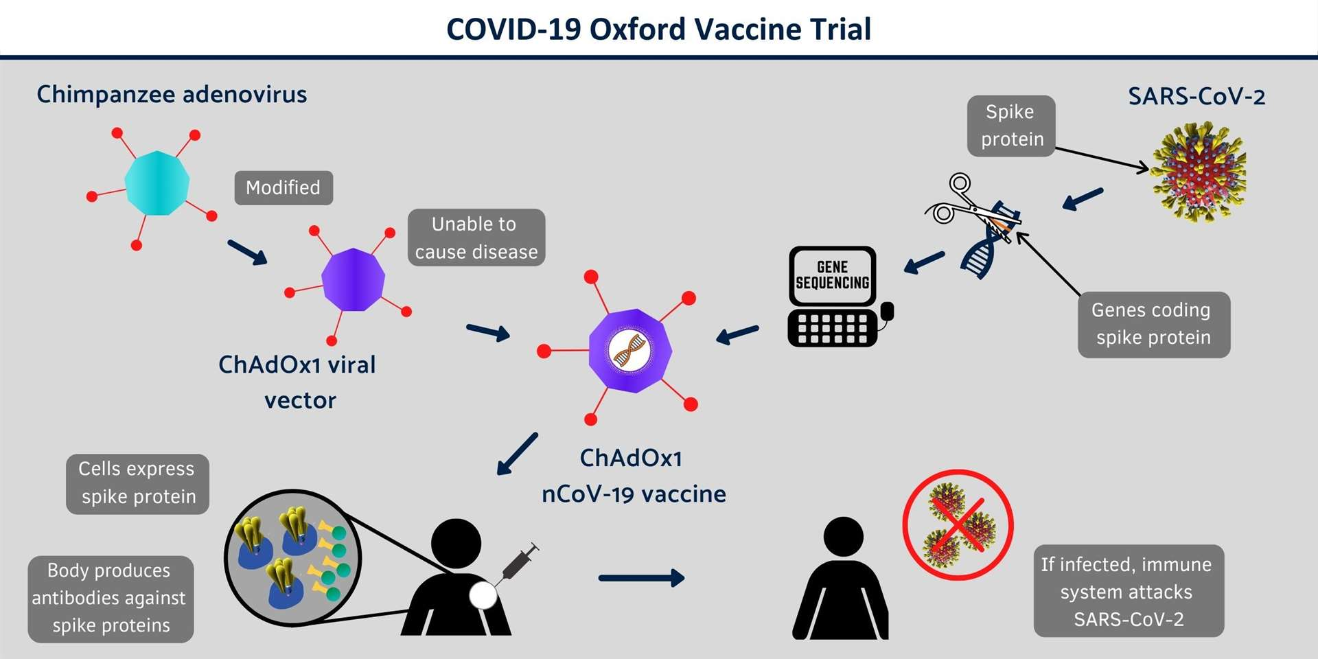 How Oxford University's potential Covid-19 vaccine works