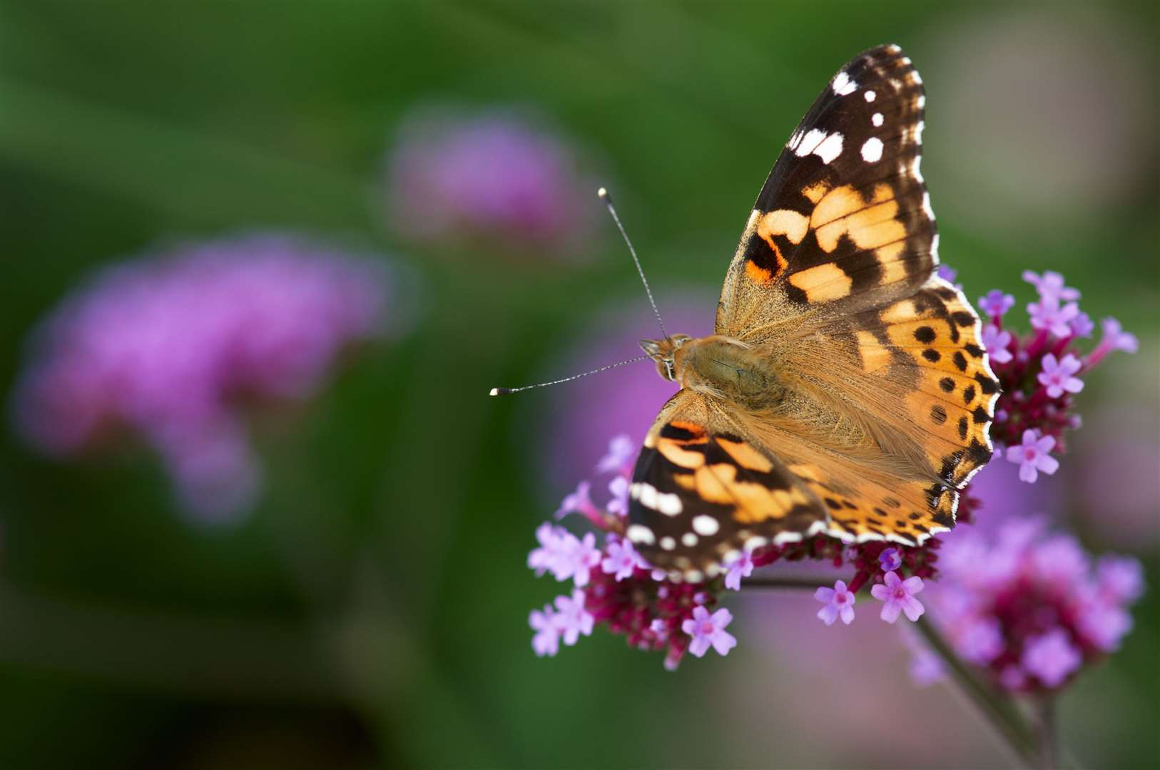 A painted lady butterfly (15612249)
