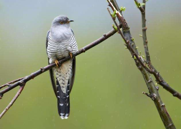Perching common European cuckoo against a green background. Picture by stillwords.