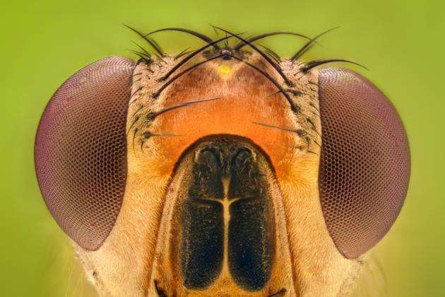 The brain of the fruit fly is the size of a poppy seed but contains 100,000 neurons