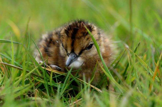Redshank chick in grass. Picture: Kevin Simmonds