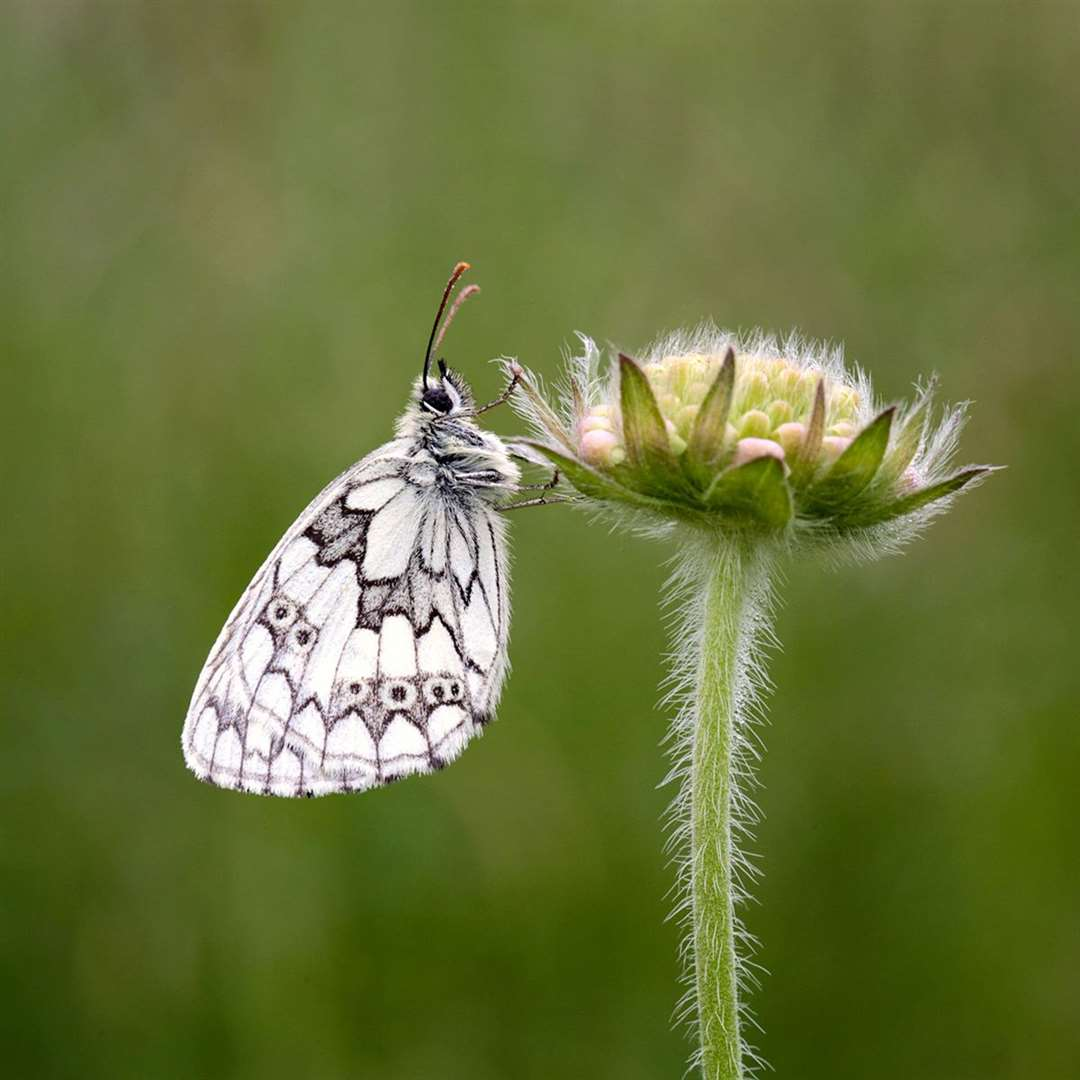 Marbled White on Scabious Bud by John Bulpitt, Cambridge Camera Club (27657729)