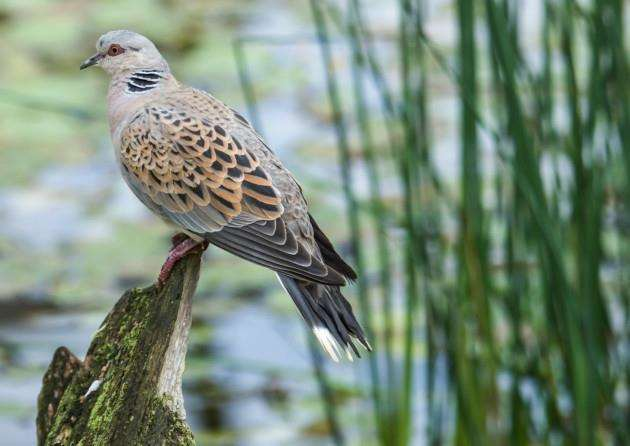 Turtle dove on a log. Picture by Leopardinatree.