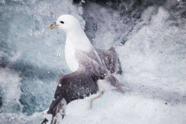 Northern Fulmar (Fulmarus glacialis) swimming in big ocean waves by the coast of Iceland