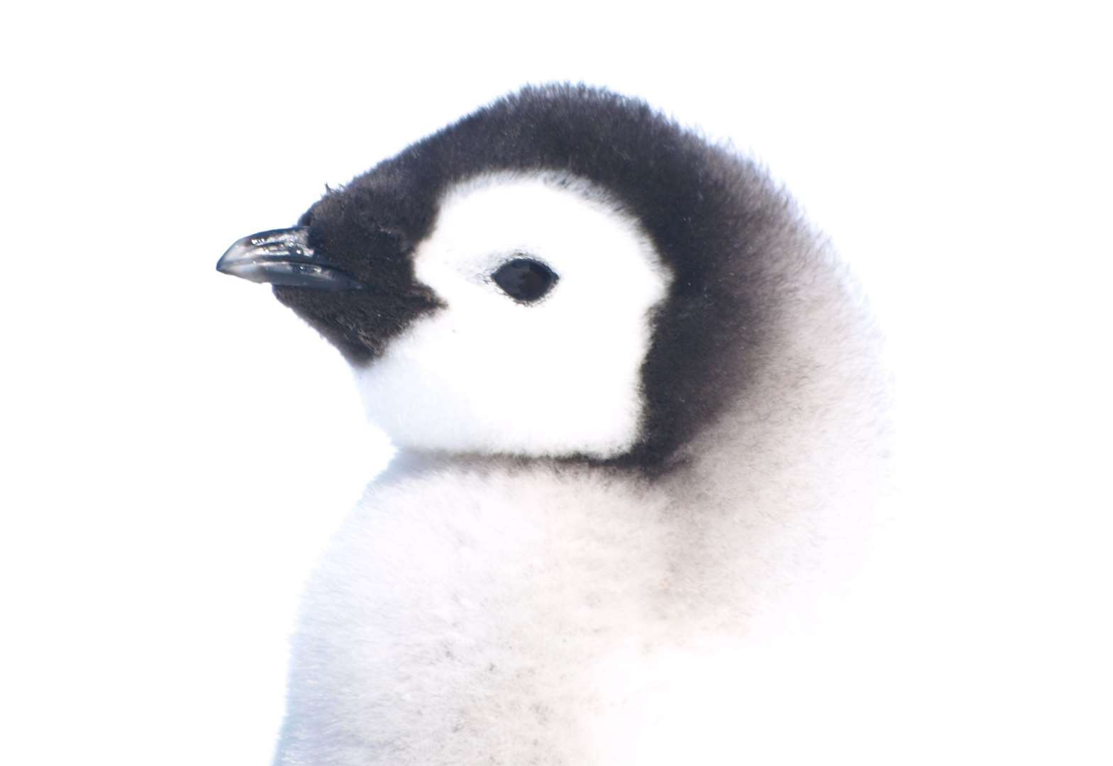 Penguins from space: British Antarctic Survey uses satellite images to uncover new colonies - Cambridge Independent