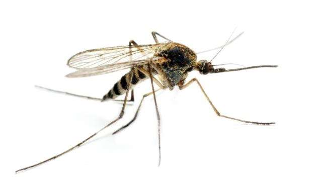 Anopheles mosquito - it is the female that carries the malaria parasite