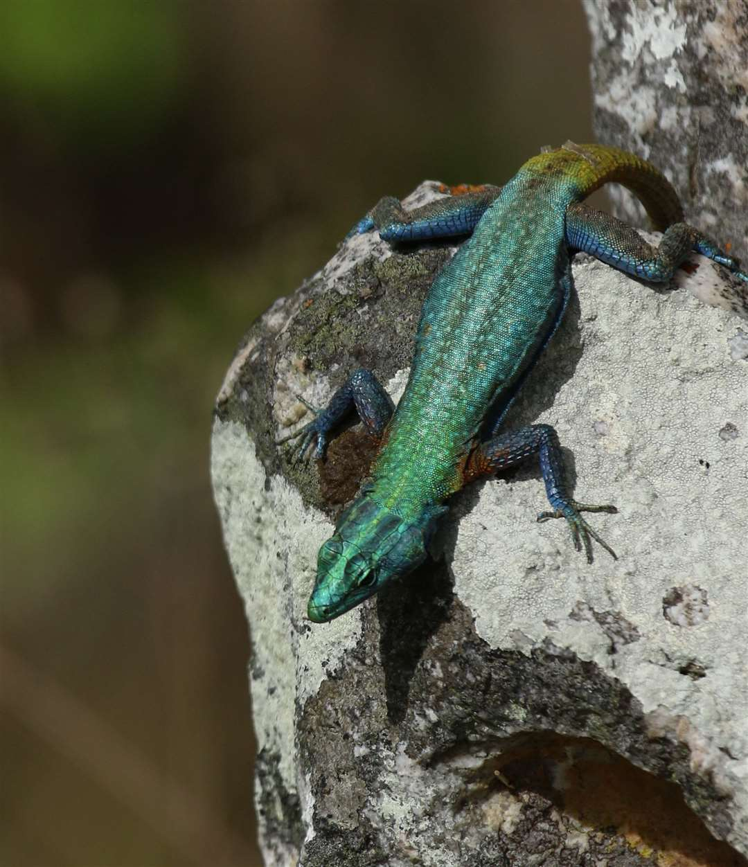The flat lizard or 'platyvarus intermedius', also atChimanimani National Reserve. Picture: Millie Kerr for FFI-1